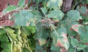 Почему желтеют листья у баклажанов? Что делать?