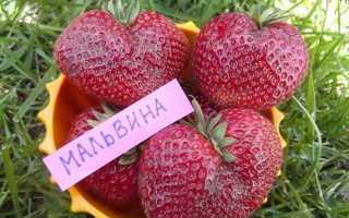 Клубника «Мальвина» (15 фото): описание сорта садовой земляники, отзывы садоводов и дачников