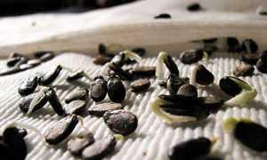 Как замочить семена арбуза перед посадкой? Как надо правильно замачивать и сколько они прорастают