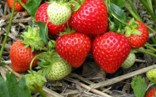Клубника «Кент» (13 фото): описание и характеристики сорта садовой земляники, отзывы садоводов