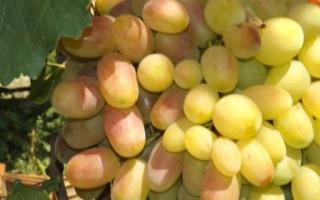 Описание сорта винограда «Юбилей Новочеркасска» (21 фото): характеристика плодового растения и отзывы