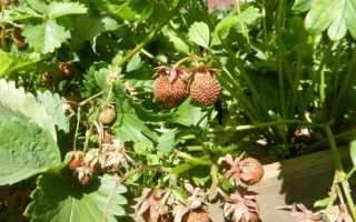 Почему твердеют ягоды клубники? Почему созревшие ягоды становятся жесткими и бурыми
