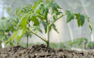 На каком расстоянии сажать помидоры в теплице? Посадка в парнике из поликарбоната, шаг между кустами