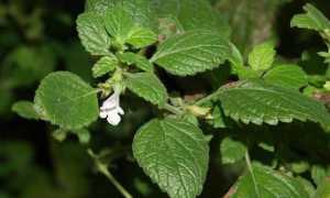 Как вырастить мяту и мелиссу на даче: советы, лечебные свойства