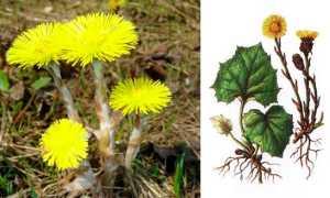 Мать-и-мачеха: лечебные свойства и противопоказания травы, применение от кашля