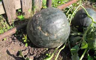 Рассада арбуза (29 фото): как сажать в открытый грунт и что делать, если она вытянулась,