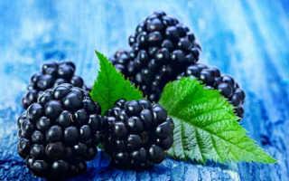Лесная ежевика (11 фото): полезные свойства и вред ягод из леса