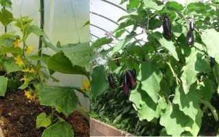 Баклажаны и огурцы в одной теплице (15 фото): выращивание и уход, можно ли сажать рядом,