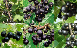 Лучшие сорта чёрной смородины для Урала: крупноплодные сладкие виды для Южного Урала, отзывы