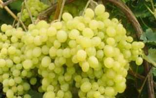 Виноград «Алёшенькин дар» (25 фото): описание сорта, который также называют «Алёша», посадка и уход, отзывы