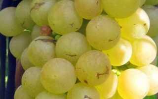 Виноград «Платовский» (36 фото): описание и характеристика плодового сорта, выращивание в Подмосковье, отзывы