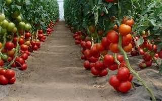 Томат «Бобкат F1» (16 фото): характеристика и описание сорта, урожайность помидоров и процесс выращивания в теплице, отзывы