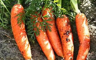 Морковь (46 фото): что это такое, выбираем семена лучших сортов для открытого грунта и Сибири