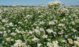 Как растет гречка? 14 фото Как цветет гречиха на полях и как выглядит гречишное растение во время цветения