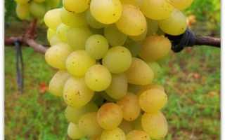 Виноград «Плевен» (14 фото): описание устойчивого мускатного сорта, процесс посадки и отзывы