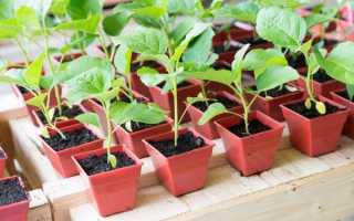 Баклажаны (50 фото): выращивание и уход в открытом грунте, посадка на рассаду, как правильно ухаживать