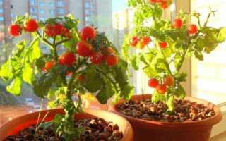 Помидоры на балконе (25 фото): как вырастить балконные сорта томатов в домашних условиях, пошаговая инструкция по уходу