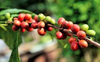 Арабика (29 фото): что это такое, виды и сорта кофе без кофеина из Эфиопии и