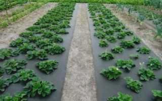 Агроволокно для клубники: правильная схема посадки, выращивание и капельный полив под агроволокном, отзывы садоводов