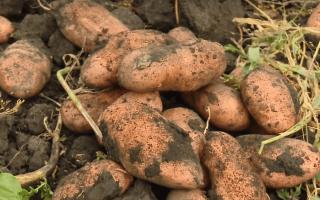 Описание сорта картофеля «Раннее утро» (11 фото): характеристика и процесс выращивания, отзывы