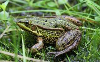 Лягушки едят клубнику (8 фото): что делать и как бороться, могут ли жабы съесть ягоды
