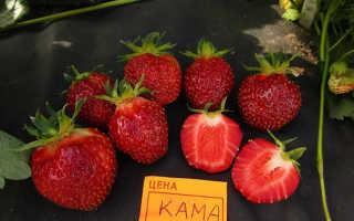 Клубника «Кама» (19 фото): описание сорта садовой земляники, отзывы садоводов