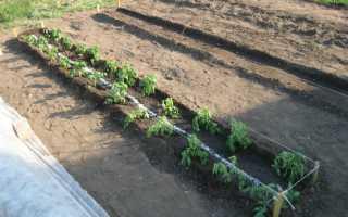 Как ухаживать за помидорами? Как правильно выращивать томаты после высадки в открытый грунт