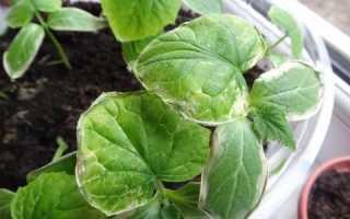 Что делать, если у листьев огурцов сохнут края? 19 фото Почему засыхает рассада, чем лечить семядольную листву в теплице