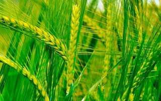 Твердые сорта пшеницы: что это такое и где в России выращивают культуру, однодольные и двудольные виды пшеницы
