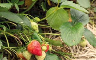 Клубника «Фурор» (12 фото): описание сорта садовой земляники и отзывы садоводов