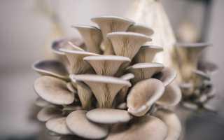 Вешенки: полезные свойства и вред грибов, приготовление в домашних условиях