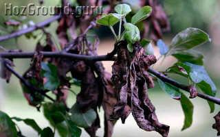 Почему чернеют листья у груши как лечить?