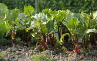 Посадка свеклы рассадой в открытый грунт: как правильно сажать и на каком расстоянии, как рассаживать после прореживания