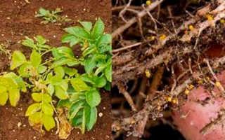Картофельная нематода (22 фото): описание и лечение золотистой и стеблевой разновидности, признаки поражения картофеля