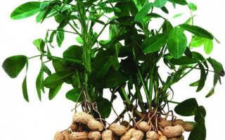 Арахис: полезные и лечебные свойства, вред и калорийность, применение