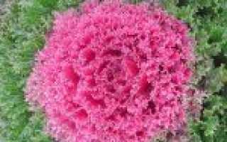 Декоративная капуста (47 фото): посадка и уход в открытом грунте, выращивание из семян в домашних условиях