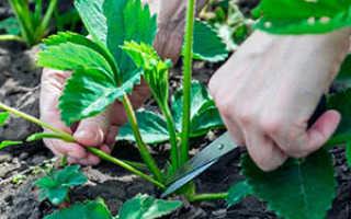 Обрезка ремонтантной клубники после сбора урожая: выращивание и уход, нужно ли удалять усы у клубники летом