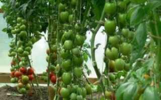 Томат «Леопольд F1» (14 фото): характеристика и описание сорта помидор, урожайность и высота куста, отзывы