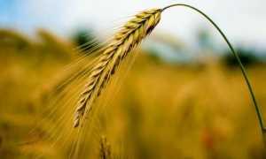 Отличия ржи и пшеницы (11 фото): в чем разница между злаками, как их отличить по