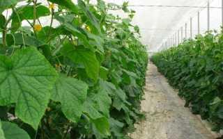 Посадка огурцов семенами в парник (57 фото): выращивание на рассаду и уход, как правильно подвязать растение