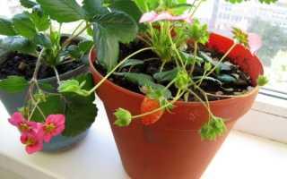 Клубника на балконе: особенности выращивания домашней клубники на подоконнике круглый год в пластиковых бутылках