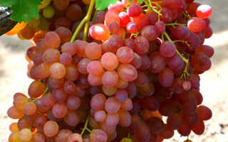 Виноград «Велес» (25 фото): подробное описание сорта и особенности выращивания, отзывы