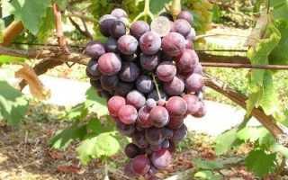 Виноград «Кардинал» (28 фото): описание сорта, разновидности «Люкс» и «Устойчивый», «АЗОС» и «Молдавский», отзывы садоводов