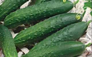 Огурцы «Феникс» (22 фото): описание и плюсы сорта, сколько дает урожая, характеристика и отзывы