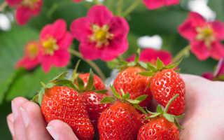 Клубника «Тоскана» (19 фото) описание ампельного ремонтантного сорта садовой земляники и агротехника выращивания, отзывы садоводов
