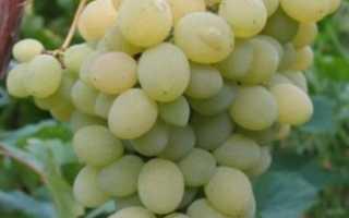 Виноград «Элегант» (15 фото): описание сверхраннего сорта, отзывы