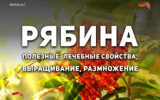 Красная рябина (54 фото): полезные лечебные свойства и противопоказания, польза сортов «Титан» и «Бурка»