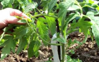 Пасынкование помидоров (27 фото): как правильно прищипывать томаты в теплице, пошаговое описание и схема