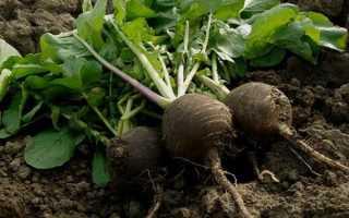 Когда сажать редьку? Когда сеять в открытый грунт семенами, сроки посадки в Сибири, выращивание и уход