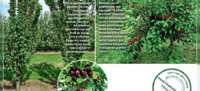 Сорта вишни: выращивание и уход